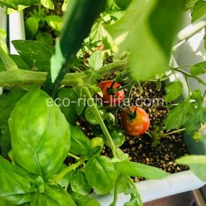トマト 食わず嫌い 治す 野菜